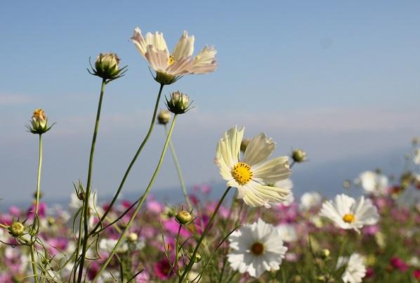 イエローガーデンが咲いてるコスモス畑の写真