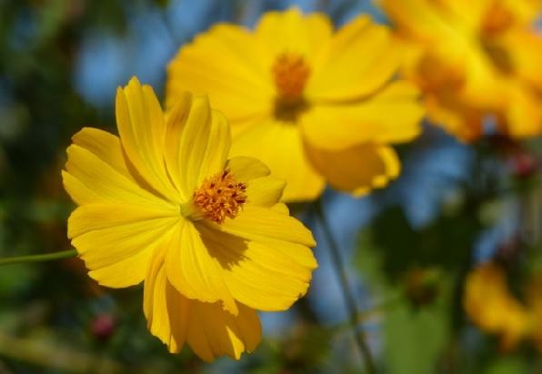 黄色のキバナコスモスのアップ写真