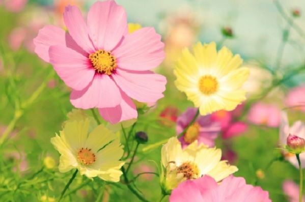 黄色やピンクのコスモス畑の写真