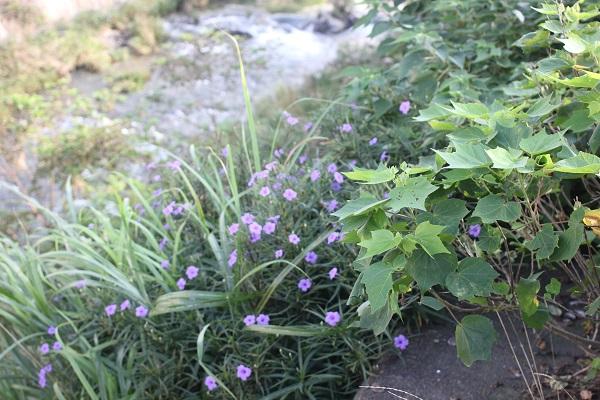 川辺に咲いているヤナギバルイラソウの写真