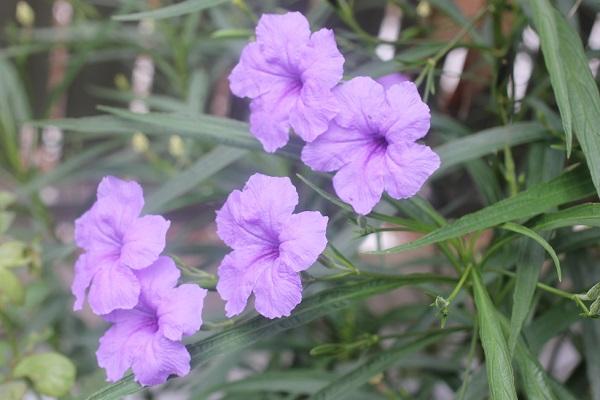 ヤナギバルイラソウが咲いてる様子の写真
