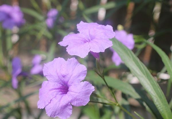 ヤナギバルイラソウが咲いてる様子に写真