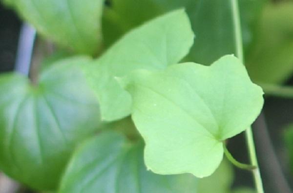 ツタバキリカズラ(アサリナ)の葉の写真