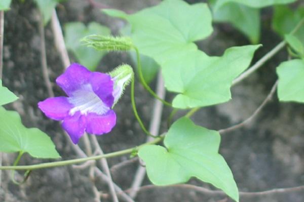 ツタバキリカズラ(アサリナ)の花と葉の写真