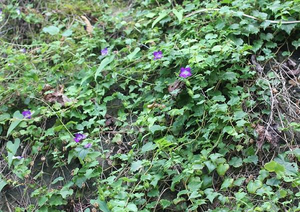 ツタバキリカズラ(アサリナ)が石垣に咲いてる様子の写真