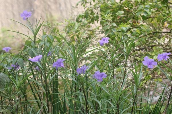 川辺に咲いてるヤナギバルイラソウ