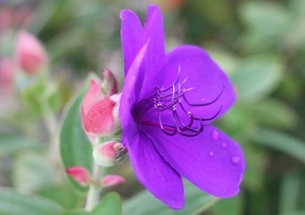 横から見たシコンノボタン(紫紺野牡丹)の花の写真