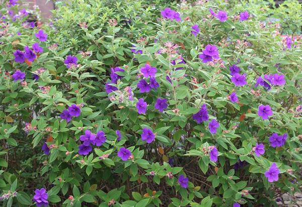 たくさん花が咲いてるシコンノボタン(紫紺野牡丹)の花木の写真