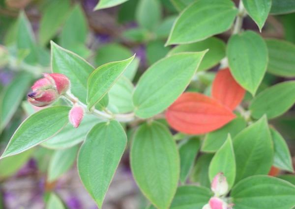 シコンノボタン(紫紺野牡丹)の葉の写真