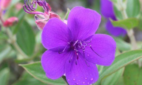 美しいシコンノボタン(紫紺野牡丹)の花の写真