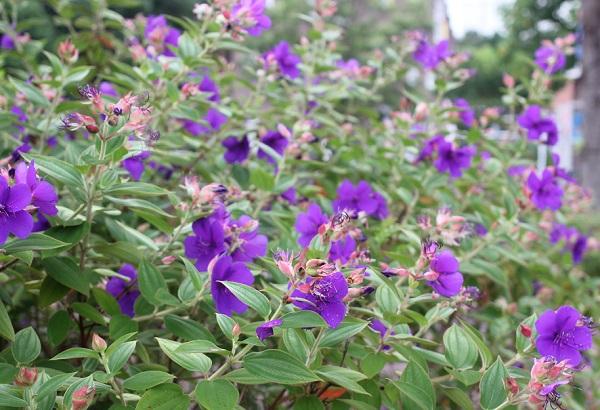 咲き誇るシコンノボタン(紫紺野牡丹)の写真