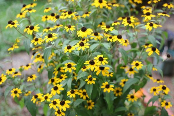 庭に咲いてるルドベキア・タカオの様子の写真