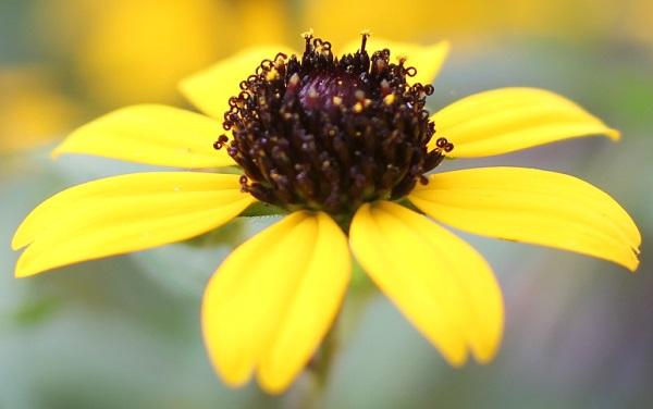ルドベキア・タカオの花、アップ写真