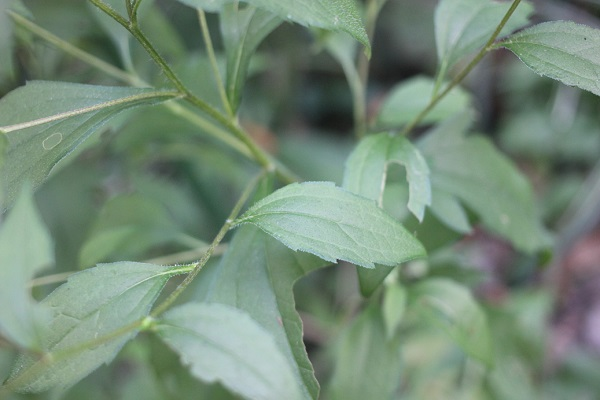 ルドベキア・タカオの葉の写真