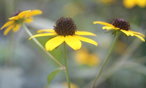 横から見たルドベキア・タカオの花の写真