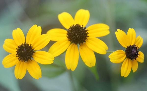 正面から見たルドベキア・タカオの花の写真