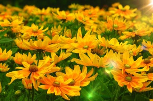 ルドベキア タイガーアイの花の写真