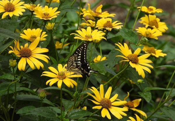 ヒメヒマワリ(キクイモモドキ)の花の写真
