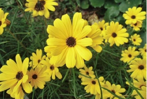 ヤナギバヒマワリ(柳葉向日葵)の花の写真