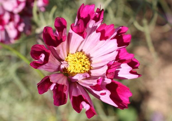 コスモス、シーシェル、八重咲の花の写真