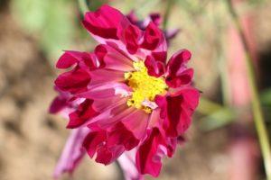 コスモス シーシェルの花の写真