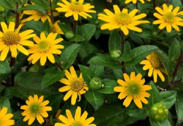 サンビタリアの花の写真