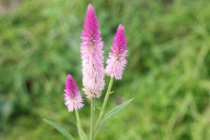 ノゲイトウ(野鶏頭)の花の写真