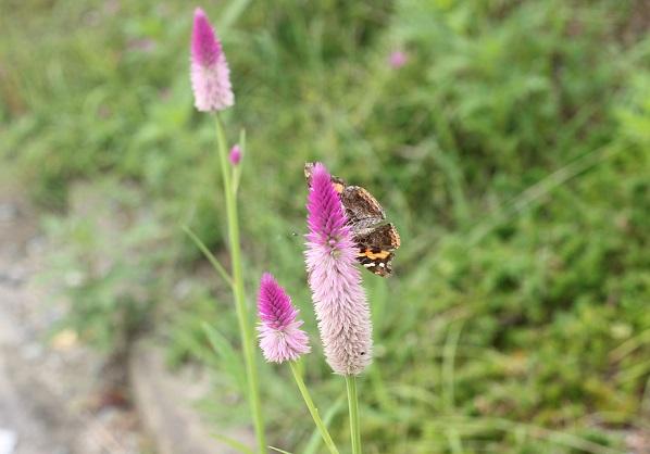 野に咲くセロニア(ノゲイトウ)の写真