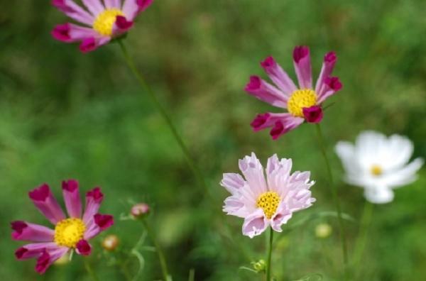 コスモス、シーシェルが咲いてる様子の写真