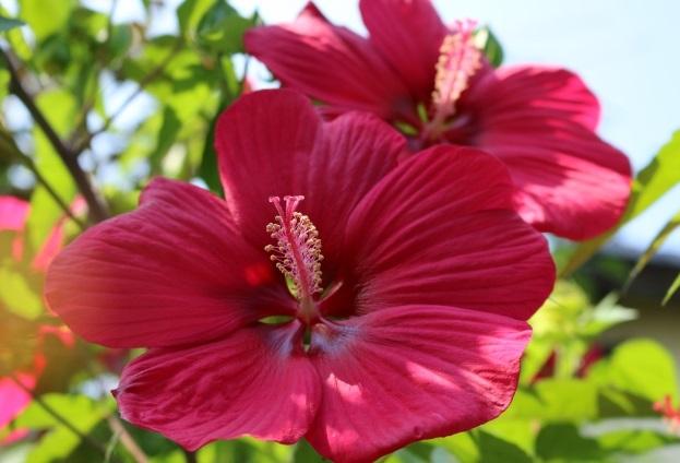 タイタンビカスの花の写真