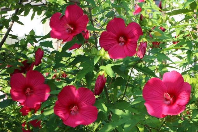 タイタンビカスの花と葉の写真