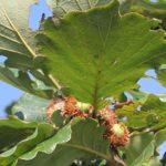カシワの木に実ってるドングリの様子の写真