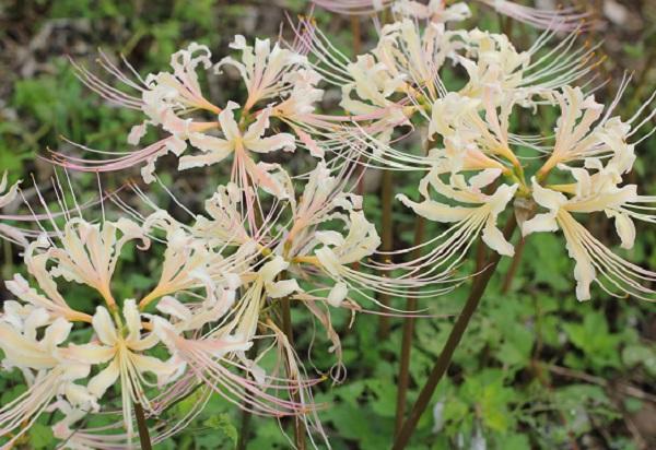 白花彼岸花(シロバナヒガンバナ)の花の写真