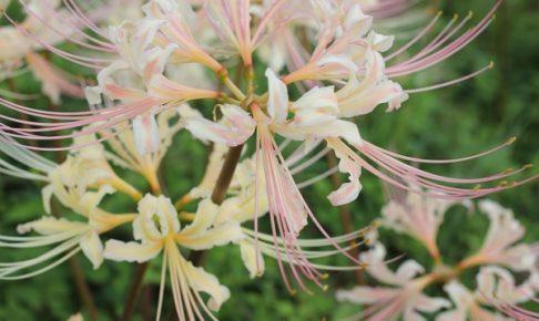 白い彼岸花の花の写真