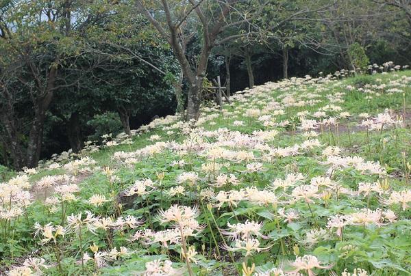 白花彼岸花(シロバナヒガンバナ)の群生の写真