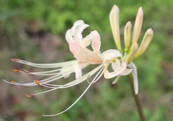 白花彼岸花(シロバナヒガンバナ)の花、アップ写真(雌しべや雄しべ)