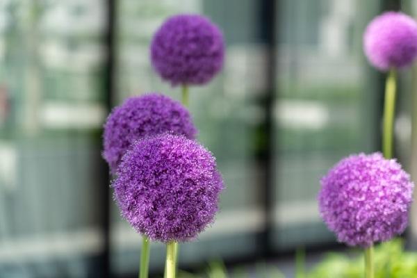 アリウムの花の写真