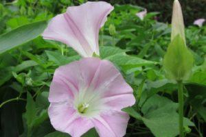 ヒルガオの花の写真