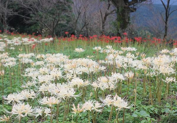 白花彼岸花(シロバナヒガンバナ)と赤い彼岸花、群生している様子