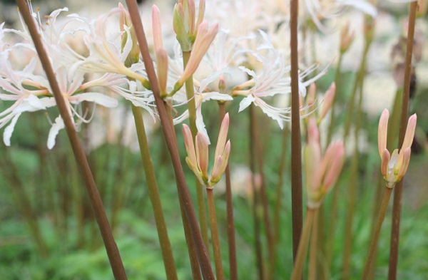 白花彼岸花(シロバナヒガンバナ)の茎