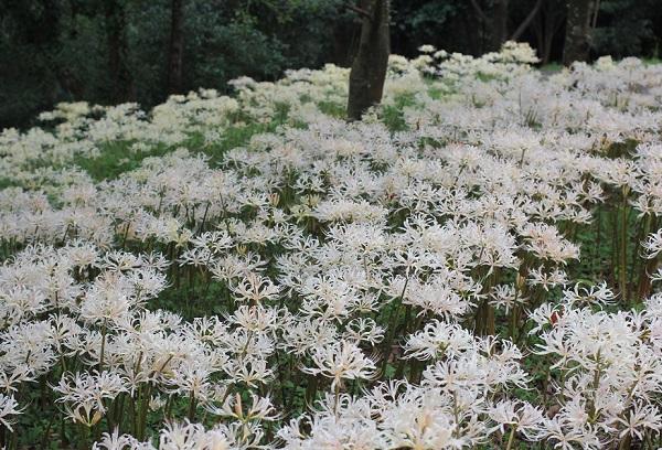 白花彼岸花(シロバナヒガンバナ)の群生