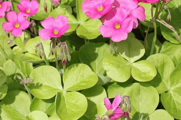 ハナカタバミの葉の様子の写真