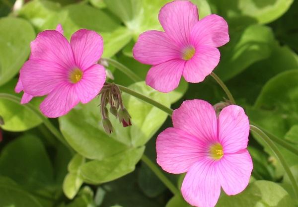 ハナカタバミの花のアップ写真