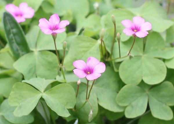 イモカタバミの花や葉の写真