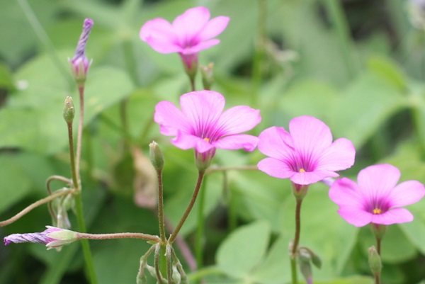 イモカタバミが咲いてる様子の写真