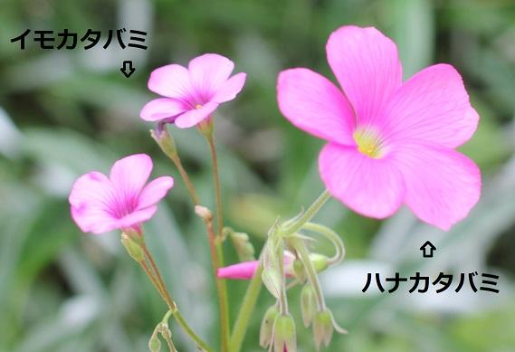 イモカタバミとハナカタバミの咲いてる様子。比較写真