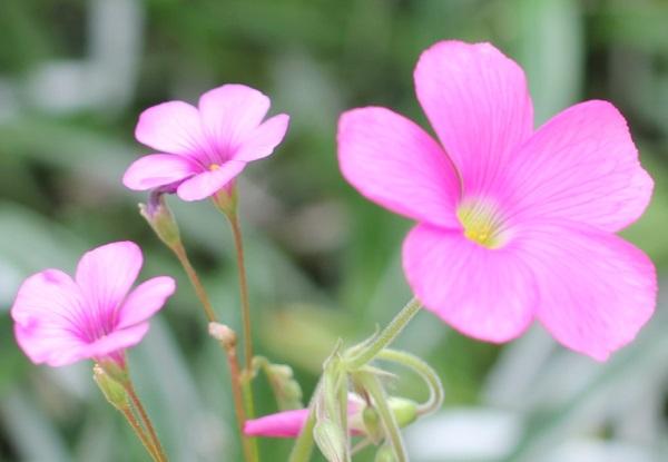 イモカタバミとハナカタバミの花の写真