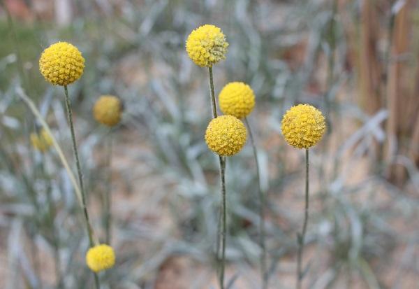 クラスペディアの花の写真