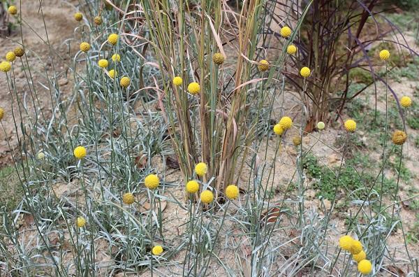 クラスペディア(ゴールデンスティック)の花がたくさん咲いている様子の写真