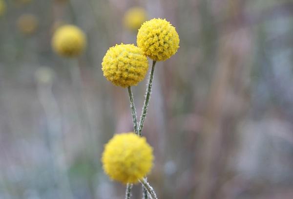 クラスペディア(ゴールデンスティック)の花が咲いてる様子の写真